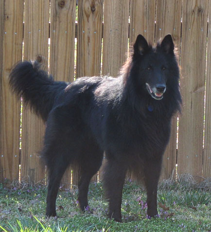 Identifying the Belgian Sheepdog